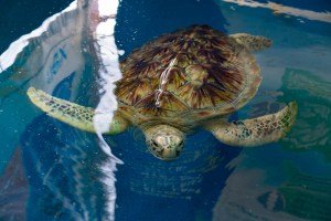 Grown-up turtle in sanctuary