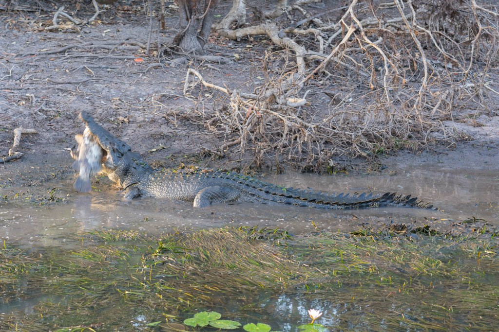 Crocodile having a feast at Kakadu National Park