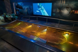 Colossal Squid at Te Papa in Wellington
