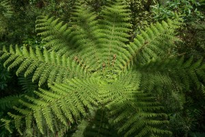 Tree Fern near Milford Sound