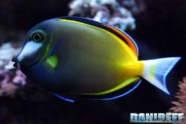 200709 acanthurus, chirurgo, japonicus, pesci 15 Copyright by DaniReef