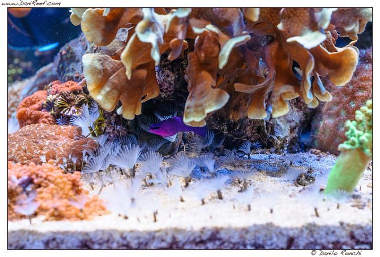 DSG_9984_acquario_marino_andreanegu_danireef_pseudochromis_fridmani