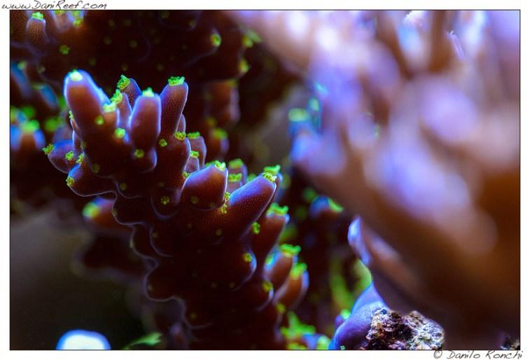 Macro Acropora tricolor