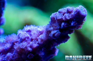 2015_01_DaniReef_Acquario_Massimiliano_Ghelfi_acropora, coralli, loisetteae, macro, sps_29