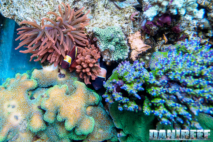 2015_01_DaniReef_Acquario_Massimiliano_Ghelfi_anemone, biaculeatus, coralli, entacmaea, pesci, premnas, sps_53