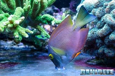 2015_01_DaniReef_Acquario_Massimiliano_Ghelfi_chirurgo, ctenochaetus, pesci, strigosus_45