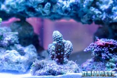 2015_10 petsfestival corallinea coralli sps acropora 05