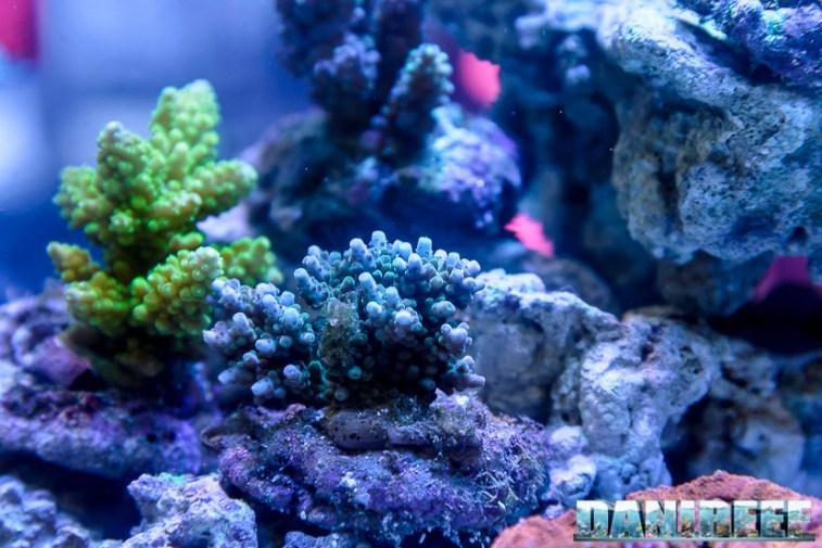 2015_10 petsfestival corallinea coralli sps acropora 08