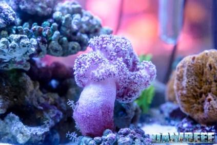 2015_10 petsfestival corallinea coralli sps acropora 11