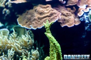 2015_12 Acropora nobilis at Madagascar Reef Aquarium at Zoo Zurich63