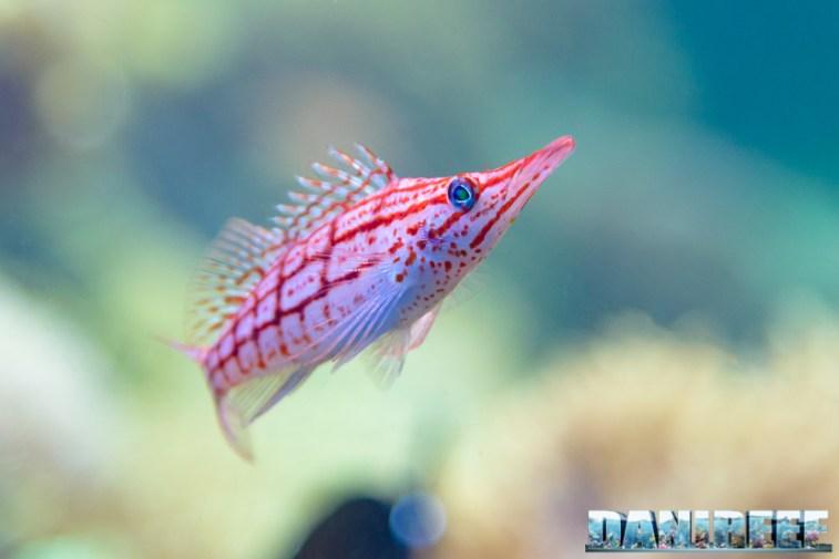 2015_12 Oxycirrhites typus at Madagascar Reef Aquarium at Zoo Zurich04