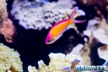2015_12 Pseudanthias at Madagascar Reef Aquarium at Zoo Zurich03
