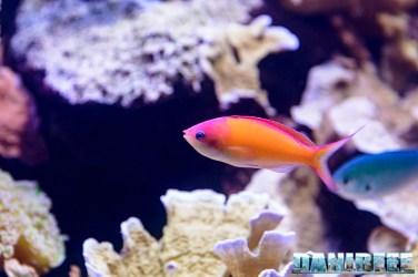 2015_12 Pseudanthias at Madagascar Reef Aquarium at Zoo Zurich05