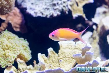 2015_12 Pseudanthias at Madagascar Reef Aquarium at Zoo Zurich07