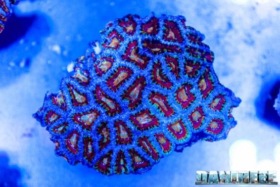 2016_05 Interzoo Norimberga whitecorals coralli acanthastrea micromussa 02