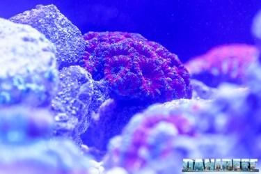 201610-acanthastrea-coralli-hobby-acquari-lps-micromussa-petsfestival-reefline-47-copyright-by-danireef
