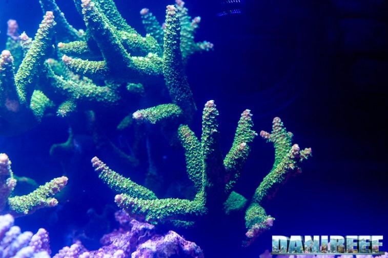 201610-acropora-aspera-barriera-corallina-coralli-petsfestival-sps-141-copyright-by-danireef