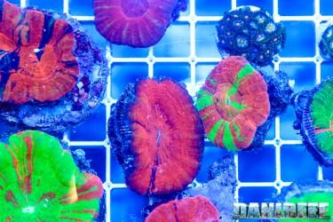 201610-coralli-lps-ondanomala-petsfestival-scolymia-148-copyright-by-danireef