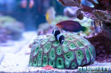 201701 amphiprion, animali, coralli lps, Favites chinensis, pesce pagliaccio, pesci 13 Copyright by DaniReef