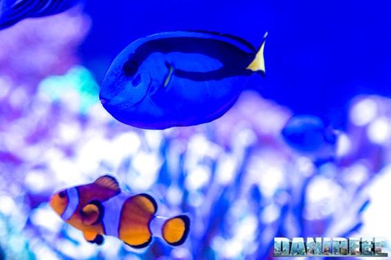 201701 animali, Paracanthurus hepatus, pesce chirurgo, pesci 50 Copyright by DaniReef