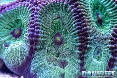 201701 animali, coralli lps, Favites chinensis, macro 105 Copyright by DaniReef
