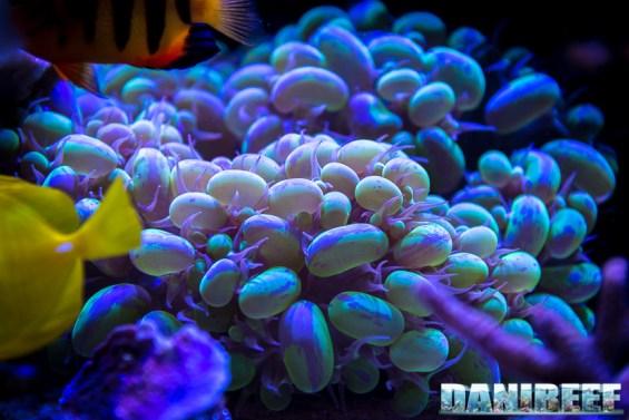 201701 animali, coralli lps, Plerogyra sinuosa 29 Copyright by DaniReef