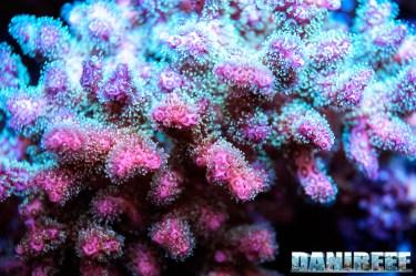 201701 animali, coralli sps, macro, pocillopora tricolor 125 Copyright by DaniReef