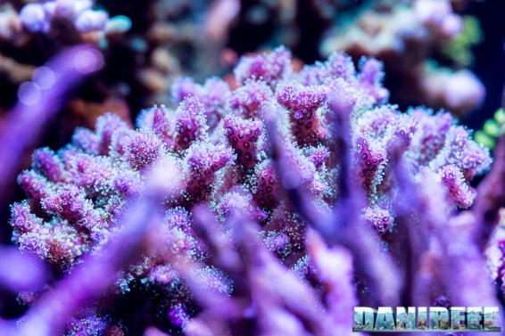 201701 animali, coralli sps, pocillopora tricolor 79 Copyright by DaniReef