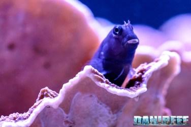 201701 animali, ecsenius bicolor, pesci 59 Copyright by DaniReef