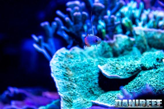 201701 animali, nemateleotris magnifica, pesci 07 Copyright by DaniReef