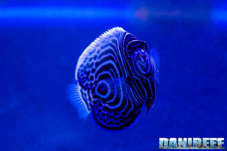 201701 animali, pesce angelo, pesci, pomacanthus imperator 17 Copyright by DaniReef