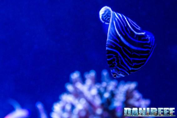 201701 animali, pesce angelo, pesci, pomacanthus imperator 21 Copyright by DaniReef