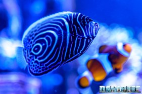 201701 animali, pesce angelo, pesci, pomacanthus imperator 45 Copyright by DaniReef