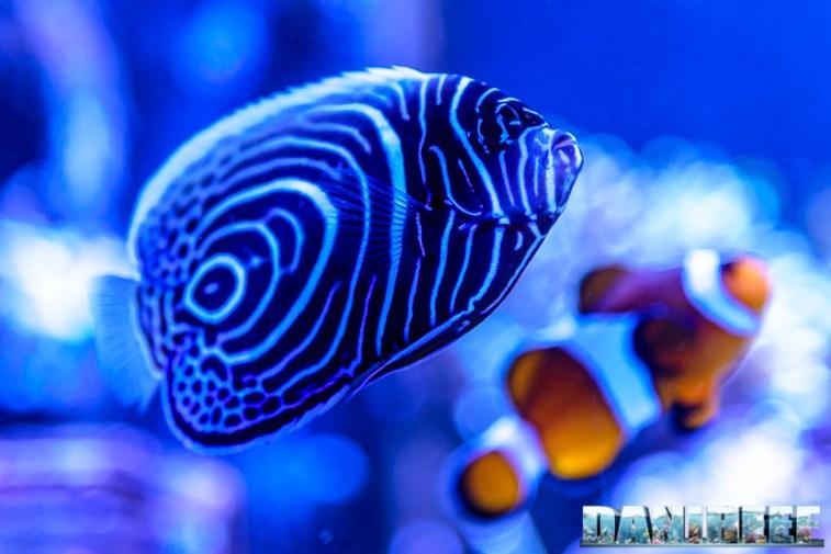 201701 animali, pesce angelo, pesci, pomacanthus imperator 45 Copyright by DaniReef