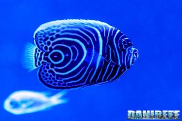 201701 animali, pesce angelo, pesci, pomacanthus imperator 46 Copyright by DaniReef