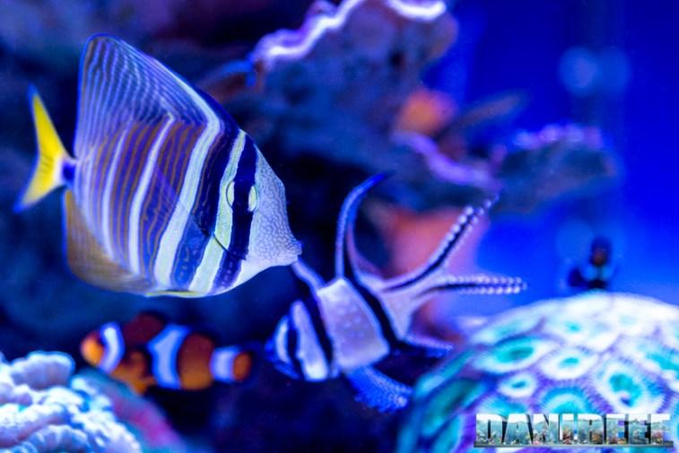 201701 animali, pesce chirurgo, pesci, zebrasoma desjardinii 25 Copyright by DaniReef