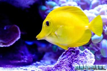 201701 animali, pesce chirurgo, pesci, zebrasoma flavescens 52 Copyright by DaniReef