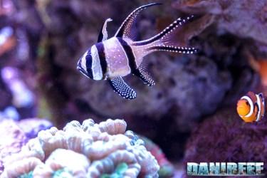 201701 animali, pesci, pterapogon kauderni 27 Copyright by DaniReef
