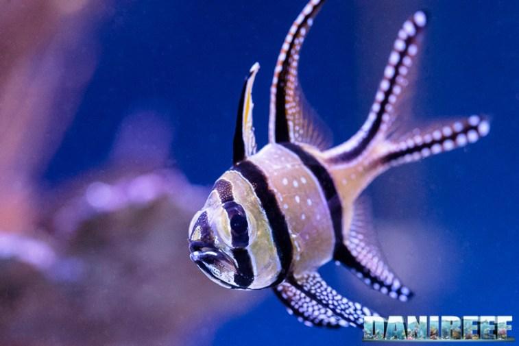 201701 animali, pesci, pterapogon kauderni 61 Copyright by DaniReef