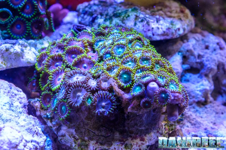 201705 coralli lps, lps, mantovani pet diffusion, zoanthus, zoomark 124 Copyright by DaniReef
