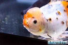2017_10_goldfish experience, pesci rossi, petsfestival 2017, sera_301
