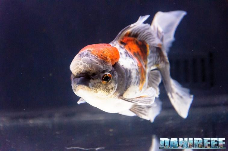 2017_10_goldfish experience, pesci rossi, petsfestival 2017, sera_302