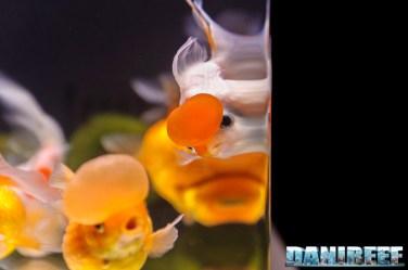 2017_10_goldfish experience, pesci rossi, petsfestival 2017, sera_309