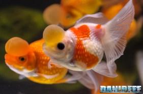 2017_10_goldfish experience, pesci rossi, petsfestival 2017, sera_312