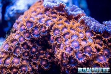 201805 coralli molli, dupla, interzoo, macro, zoanthus 25 Copyright by DaniReef