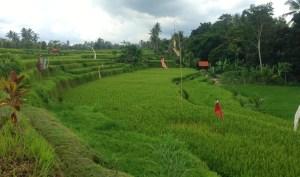 Cykeltur i Ubud langs grønne rismarker