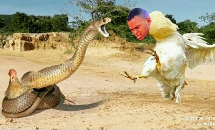 Angel Obinim turns to Cock to save his church member from getting bitten by a Cobra