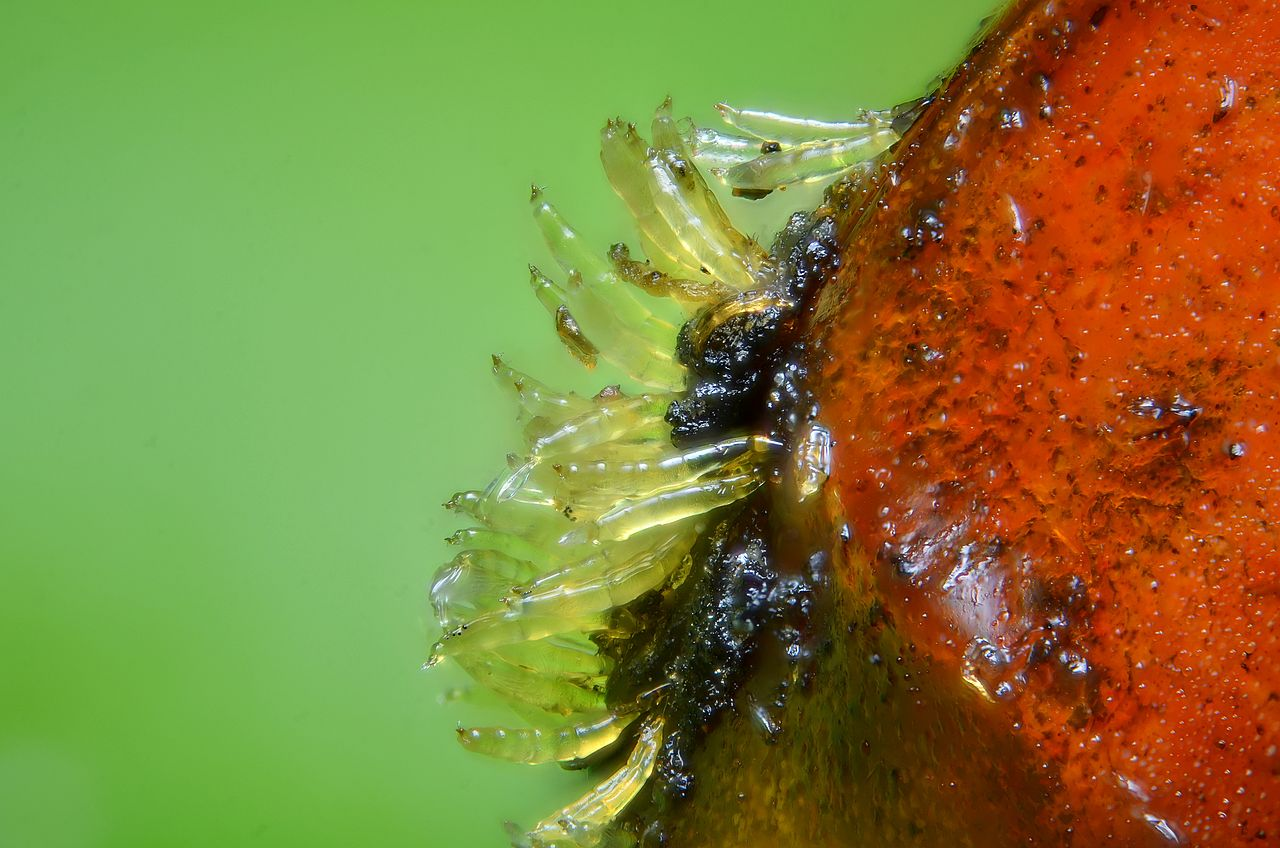 Hesperomyces virescens on elytron of the invasive alien species Harmonia axyridis (photo: Gilles San Martin)