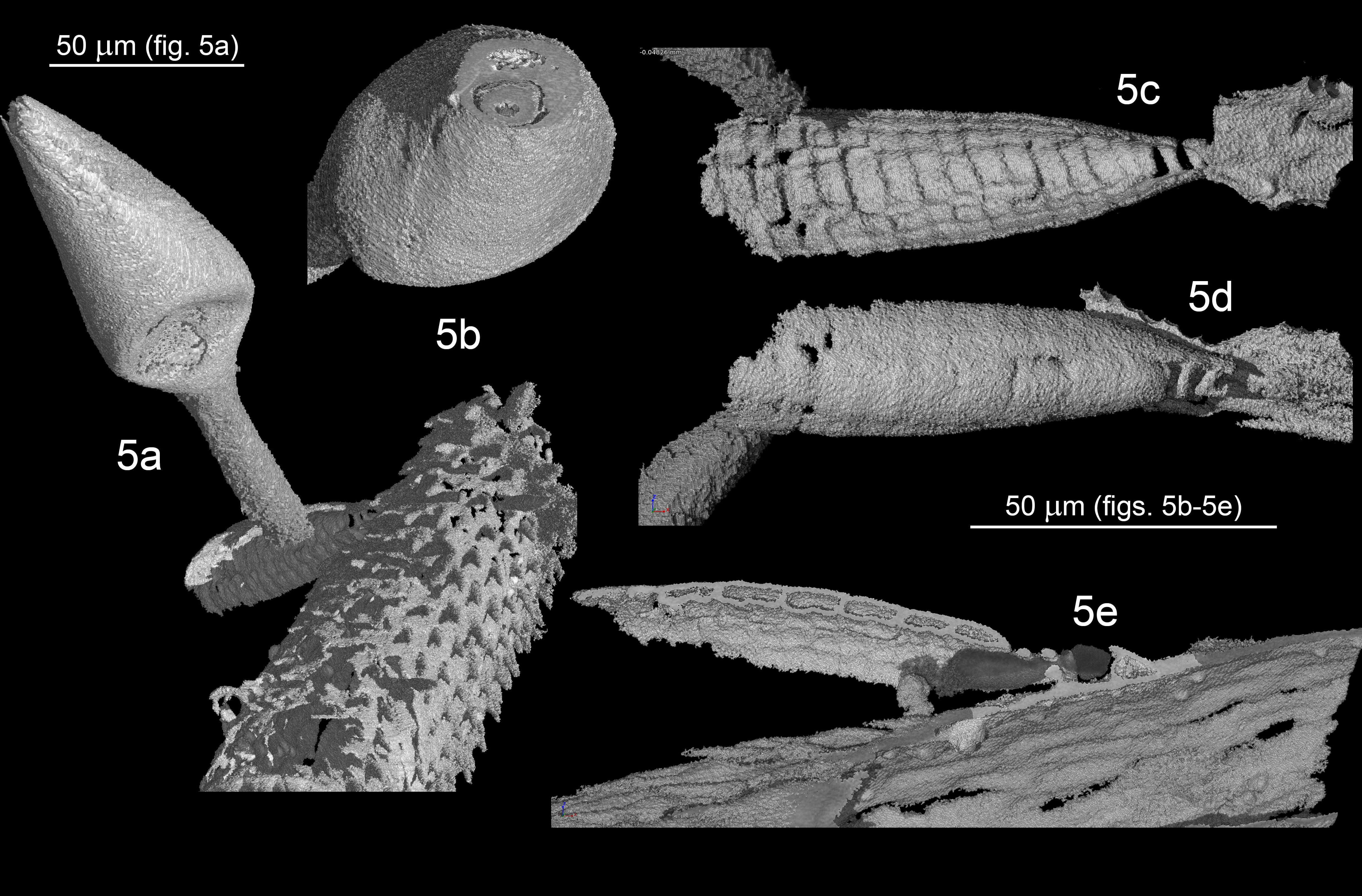 X-ray microtomographs showing morphological details of the fossil fungus, Columnomyces electri