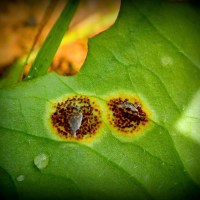[News] International team explores the mysterious and understudied parasitic microfungi